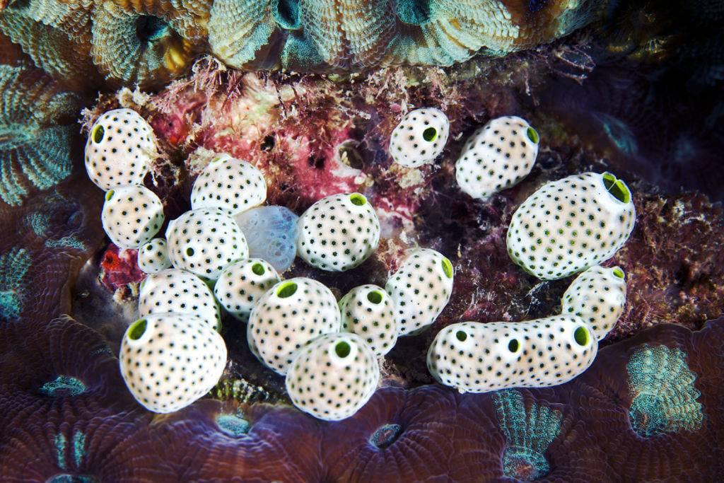 Ascidian-Didemnum-molle