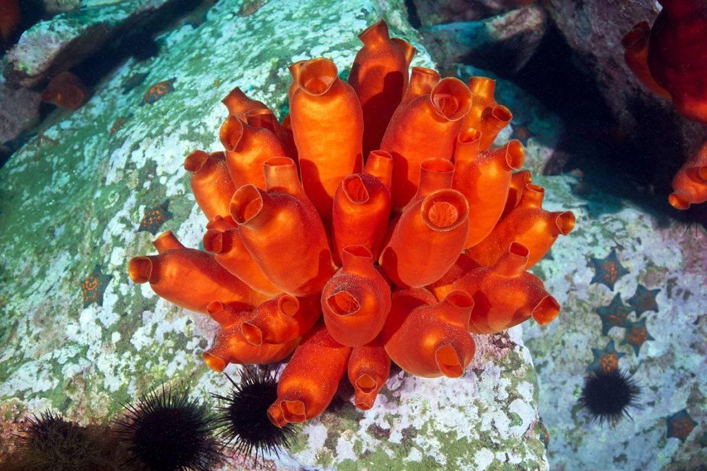 Ascidian-Halocynthia-aurantium-1